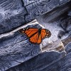 Monarch-butterfly-on-driftwood-Carmel-CA