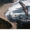 Condor-Over-Big-Sur-Sea-Cliffs