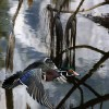 Wood-Duck-pine-reflection